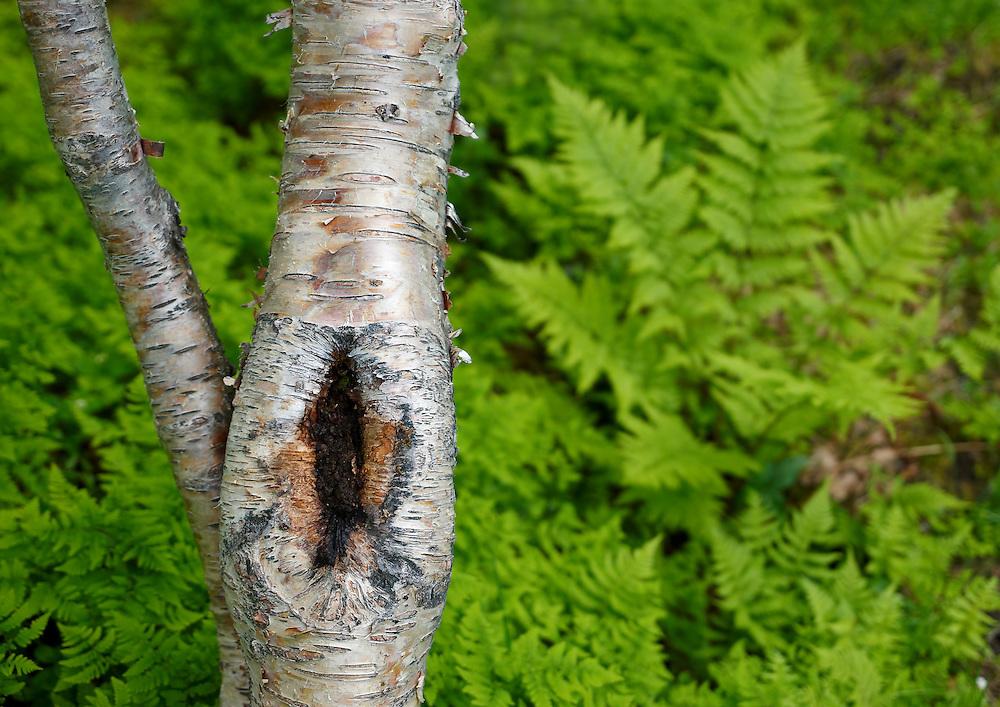 Norway - Birchwood detail