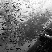 Cocos Island, Dive Spot: Dirty Rock