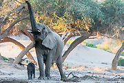 A small desert elephant calf (Loxodonta africana cyclotis) staying close to its mother while she feeds from a tree, Skeleton Coast, Namibia