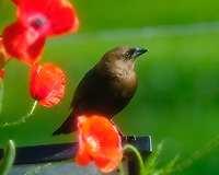 Brown-headed Cowbird. Image taken with a Fuji X-T2 camera and 100-400 mm OIS telephoto zoom lens.