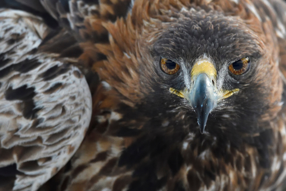 Golden eagle, Aquila chrysaetos, adult male, Västerbotten, Lapland, Sweden. NB that this is a 16 year old male, all wild and free!...