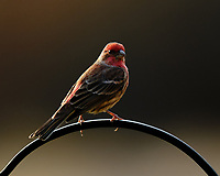 House Finch. Image taken with a Fuji X-H1 camera and 200 mm f/2 lens + 1.4x TC