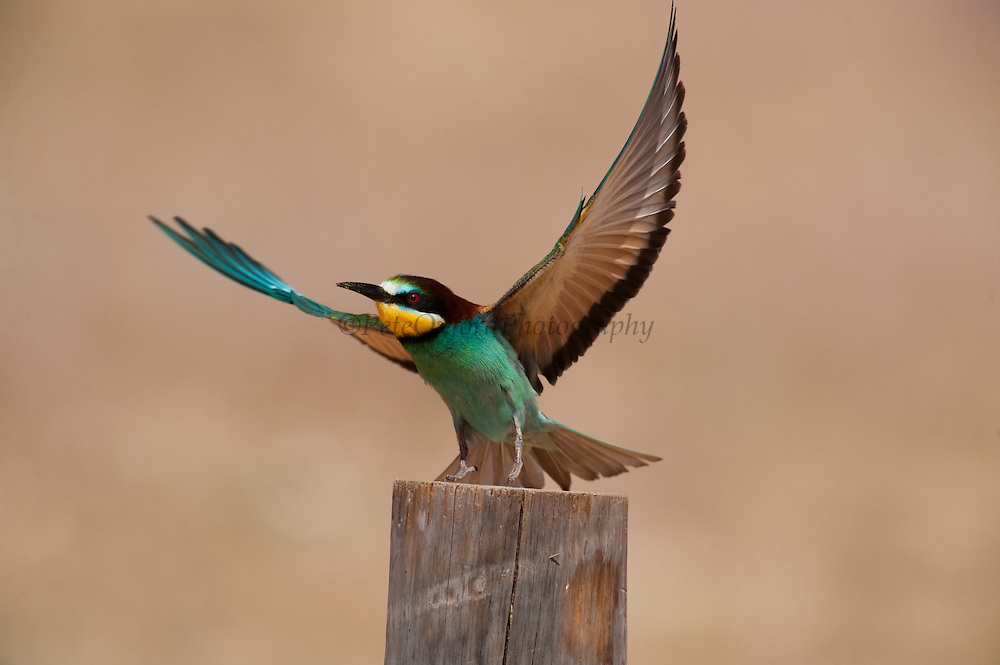 European Bee-eater (Merops apiaster)<br /> Breed in Southern Europe & North Africa & Western Asia. It is strongly migratory wintering in tropical Africa, India & Sri Lanka. They feed on insects, mainly bees, wasps and hornets caught on the wing. Eat up to 250 bees a day, removing sting by hitting them repeatedly on the ground. They nest on sandy banks usually near water.<br /> Doñana National & Natural Park. Huelva Province, Andalusia. SPAIN<br /> 1969 - Set up as a National Park<br /> 1981 - Biosphere Reserve<br /> 1982 - Wetland of International Importance, Ramsar<br /> 1985 - Special Protection Area for Birds<br /> 1994 - World Heritage Site, UNESCO.<br /> The marshlands in particular are a very important area for the migration, breeding and wintering of European and African birds. It is also an area of old cultures, traditions and human uses - most of which are still in existance.