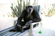 EXCLUSIVE 24th June 2008, Palm Springs, California. 76-year-old Cheeta, star of many Hollywood Tarzan films of the 1930s and 1940s, is coming out of retirement. Recognized as the oldest chimpanzee alive, the Palm Springs resident has just signed a record deal. To celebrate the signing, Cheeta made a promo music video to accompany his cover of the 1975 hit song 'Convoy'. Pictured with Cheeta signing the contract is record exec. John Trickett of independent music label Immergent. PHOTO © JOHN CHAPPLE / www.johnchapple.com <br /> .tel: +1-310-570-9100