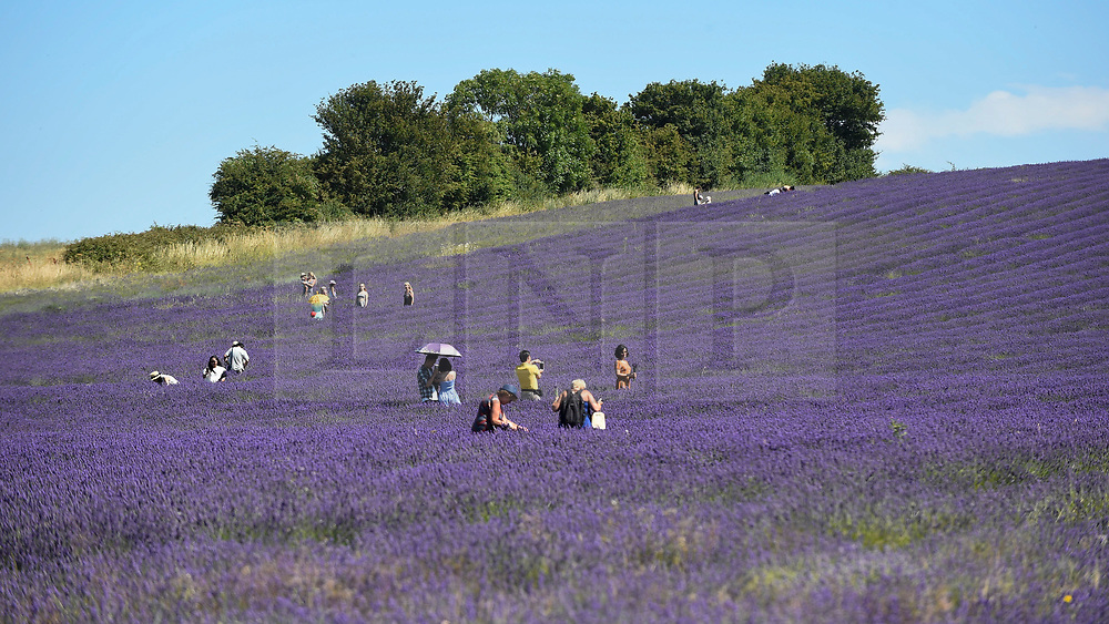 © Licensed to London News Pictures. 24/07/2018. ICKLEFORD, UK.  Visitors to Hitchin Lavender farm view and pick lavender during the continuing heatwave.  Currently in full bloom, the lavender and colourful sunflowers attract visitors from far and wide to this popular family run farm. Photo credit: Stephen Chung/LNP