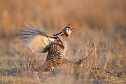 Greater prairie chicken on lek during spring in Eastern Colorado