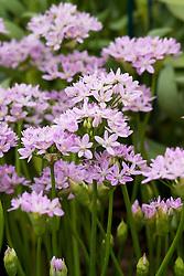 Allium unifolium syn. A. murrayanum