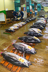 raw bigeye tunas, Thunnus obesus, getting set for auction, Tsukiji Fish Market or Tokyo Metropolitan Central Wholesale Market, the world's largest fish market, hadling over 2, 500 tons and over 400 different kind of fresh sea food per day, Tokyo, Japan