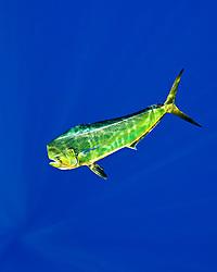 mahi-mahi, dorado, or common dolphin-fish, Coryphaena hippurus, adult bull, Kona Coast, Big Island, Hawaii, USA, Pacific Ocean
