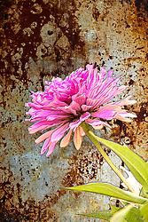 A pretty pink Zinnia flower contrasted against a metallic backdrop. <br /> <br /> Zinnia is a genus of 20 species of annual and perennial plants of the family Asteraceae. They are native to scrub and dry grassland in an area stretching from the Southwestern United States to South America, with a centre of diversity in Mexico<br /> <br /> Zinnia leaves are opposite and usually stalkless (sessile), with a shape ranging from linear to ovate, and pale to middle green in color. The flowers have a range of appearances, from a single row of petals, to a dome shape, with the colors white, chartreuse, yellow, orange, red, purple, and lilac.<br /> <br /> Zinnias are popular garden flowers, usually grown from seed, and preferably in fertile, humus-rich, and well-drained soil, in an area with full sun. They will reseed themselves each year. Over 100 cultivars have been produced since selective breeding started in the 19th century.