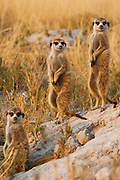 Three meerkats ( Suricata suricatta ) on sentry duty looking out for predators in the early morning, Kalahari Desert, Botswana, Africa