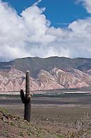 CARDON (Trichocereus sp.), PAMPA DE TINTIN Y CERRO NEGRO, PARQUE NACIONAL LOS CARDONES, PROV. DE SALTA, ARGENTINA