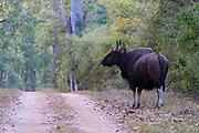 Gaur (Bos frontalis, male) along the road in Kanha National Park, Madhya Pradesh, India.