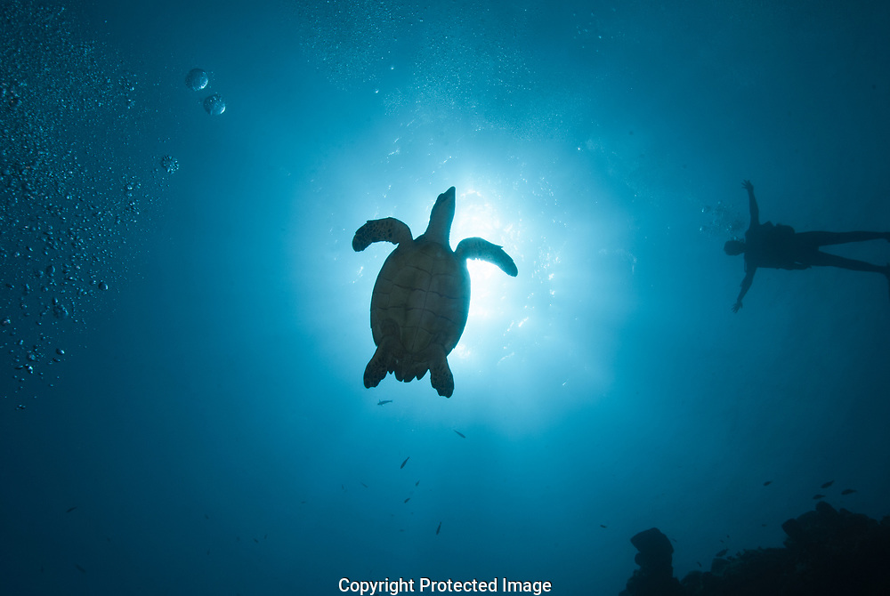 When I saw the Hawksbill turtle in blue water, I swam to position myself so the turtle was between the sun and myself for this photograph.