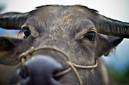 Close-up of the gentle face of a  water buffalo at the Bac Ha market in Lao Cai Province, Northern Vietnam, Southeast Asia