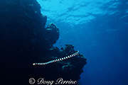 banded sea snake (sea krait), Laticauda sp., Barren Is., Andaman Islands, India ( Andaman Sea, Indian Ocean )