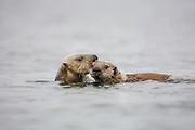 Sea otter female biting and dragging curious pup