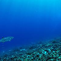 Great Barracuda, Sphyraena barracuda, Edwards, 1771, Molokini Crater, Maui Hawaii