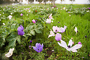 Israel, A field of Purple pink and white Anemone coronaria AKA Spanish marigold or Kalanit (in Hebrew)