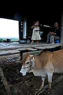 A little girl eats a meal close to her mother. They leave on a stilt house with a cow right close them. They belongs to Reungao ethnic tribe. Kontum plateau, Pleiku area, Vietnam, Asia