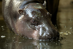 © Licensed to London News Pictures. <br /> **EMBARGOED UNTIL 00.01am FRIDAY 16 SEPTEMBER, 2016** 14/09/2016. Bristol, UK. Bristol Zoo. Picture of mother adult hippo Sirana. A baby pygmy hippopotamus was born 3 weeks ago at Bristol zoo. The baby has yet to be named, and was born to mother Sirana. It is genetically important as few male calf hippos are born in captivity and there are only about 2000 pygmy hippos left in the wild in West Africa. Photo credit : Simon Chapman/LNP