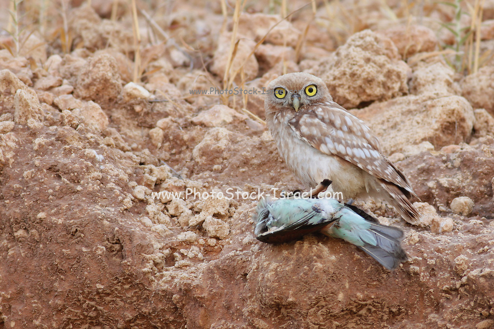The Little Owl (Athene noctua) with a common Bee-Eater This small owl reaches up to 25 centimetres in lengt Photographed in Israel in July