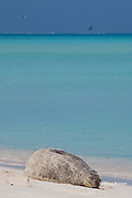 Hawaiian monk seal, Monachus schauinslandi, Critically Endangered endemic species, resting on beach, Sand Island, Midway, Atoll, Midway Atoll National Wildlife Refuge, Papahanaumokuakea Marine National Monument, Northwest Hawaiian Islands ( Central North Pacific Ocean )