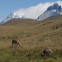 A rhea and guanacos graze hilsides below the Horns of Paine in Torres del Paine National Park, Chile.