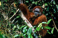 "Adult male Bornean Orangutan (known as Jari Manis) in ""past-prime"" condition, having lost his big cheek pads.  Gunung Palung National Park, Indonesia."