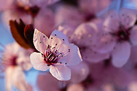 Blooming cherry blossoms illuminated by the setting sun in the Spring in Utah.