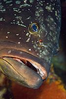Dusky Grouper (Epinephelus marginatus)<br /> France: Corsica, Lavezzi Islands, Cala di Grecu [digitally cleaned]