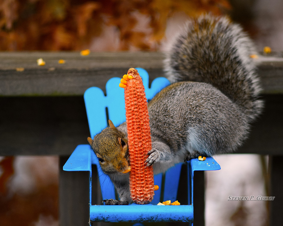 """I captured this image, as well as """"Dinner And A View"""" and """"Curious Observer"""" of an Eastern Gray Squirrel in my back yard on November 13th, 2019. I was watching this squirrel feeder and waiting with a camera when I saw this squirrel eating at it. I captured many images of the squirrel while he was eating and was one them that stood out to me. What I like the most about this image is how the squirrel looks like it's staring at the camera. I also like how it was bending, flexing, and reaching around and grabbing on to the cob to pull the corn off of it. <br /> <br /> Printed on Hahnemühle German Etching paper and Breathing Color canvas. Limited to 50 productions per size and type.<br /> <br /> Prints are available in 20"""" x 16"""" and 30"""" x 24"""" sizes.<br /> <br /> Gallery canvas wraps are available in 20"""" x 16"""", and 30"""" x 24"""", each with semi-gloss and matte lamination."""