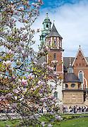 Kraków, 08.05.2016 (woj. małopolskie). Zamek Królewski na Wawelu, kwitnące magnolie, w tle Katedra Wawelska