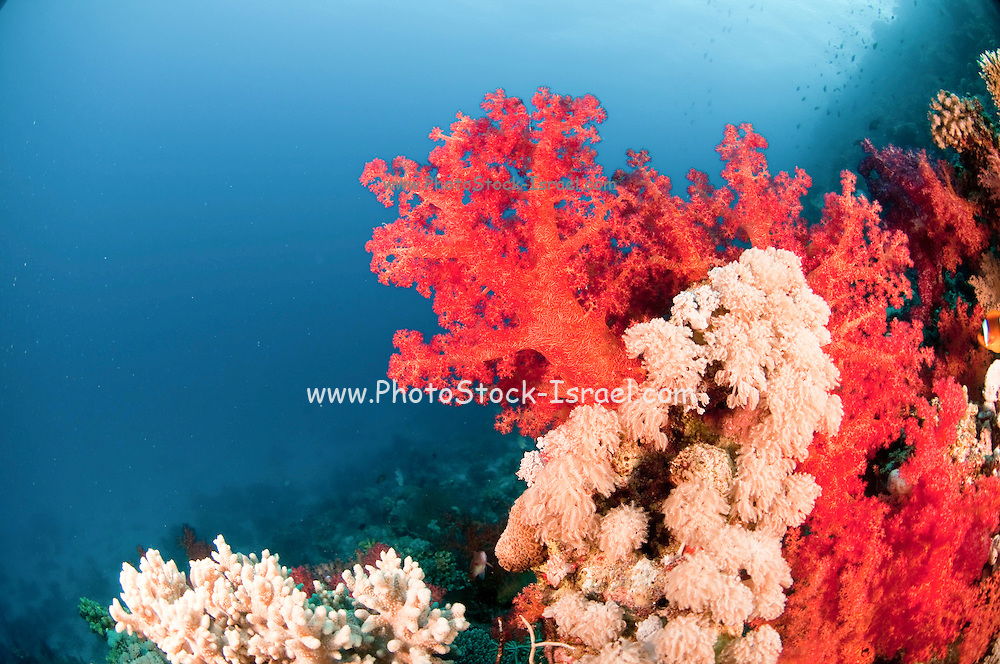Soft coral (Order Alcyonacea). Corals are small colonial invertebrate animals. Individual polyps may join together to make large structures, which are the basis of coral reefs. Soft corals differ from hard corals in that there is no hard calcium skeleton laid down. Instead the polyps are connected by spongy tubes, which are strengthened by small calcium carbonate fragments called sclerites. Each soft coral polyp (at the ends of the branches) has eight tentacles with which it filters food from the water. Photographed at Ras Mohammed National Park, Red Sea, Sinai, Egypt,