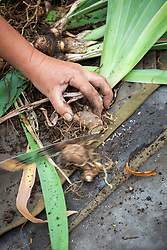 Lifting and dividing an iris in late summer. Sawing rhizomes