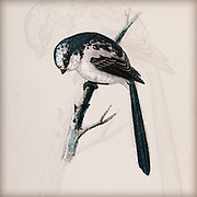 Digitally enhanced illustration of a Long-tailed tit (Aegithalos caudatus) perching on a branch. This bird is very small, with a length of only 13-15 centimetres including its very long tail. It is found in most of Europe and Asia. 19Th century artwork