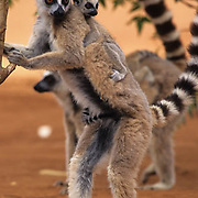 Ring-tailed Lemur (Lemur catta) adult and young.  Ring-tailed lemurs  inhabit Madagascar and are an endangered species.