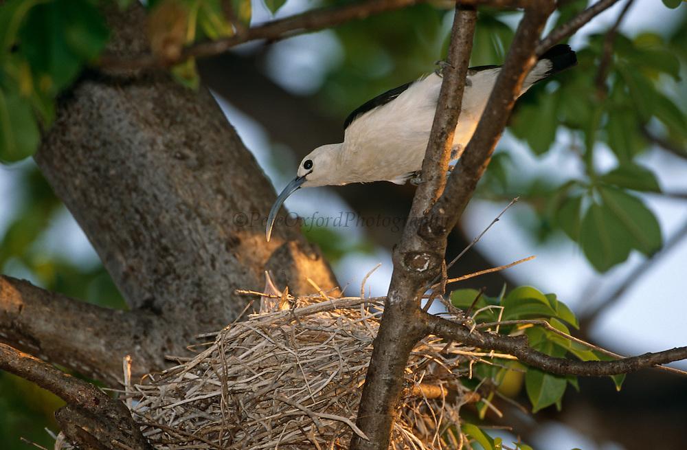 Sickle-billed vanga {Falculea palliata} <br /> feeding chick, Katsepy, Madagascar.