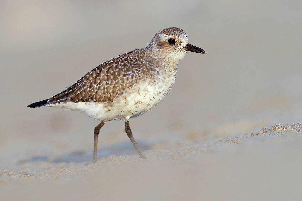 Adult non-breeding <br /> Los Angeles Co., CA <br /> November 2009 Grey Plover - Pluvialis squatarola - Adult moulting into full Summer Plumage. L 28cm. Plump-bodied coastal wader. Best known in winter plumage but breeding plumage sometimes seen in newly-arrived, or shortly-to-depart, migrants. In flight, note black 'armpits' on otherwise white underwings. Typically solitary. Sexes are similar. Adult in winter looks overall grey but upperparts are spangled with black and white and underparts are whitish. Legs and bill are dark. In summer plumage, has striking black underparts (sometimes rather mottled in females) separated from spangled grey upperparts by broad white band. Juvenile resembles winter adult but has buff wash to plumage. Voice Utters diagnostic, trisyllabic pee-oo-ee call, like a human wolf-whistle. Status Nests in high Arctic; coastal, non-breeding visitor to Britain and Ireland