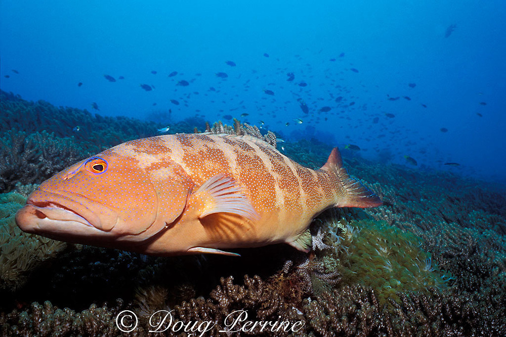 leopard coral grouper, coralgrouper, or coral trout,<br /> Plectropomus leopardus,<br /> by Wreck of the Yongala, Queensland, Australia,<br /> ( Western Pacific Ocean )