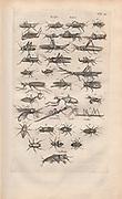 Copperplate print of grasshoppers, mantis and locus  from Johannes Jonston book of nature 'Dr. I. Ionstons Beschrijving vande natuur der vogelen neffens haer beeldenissen in koper gesneden' Published in Amsterdam in 1660