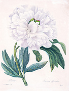 19th-century hand painted Engraving illustration of a Paeonia officinalis, the common peony, or garden peony flower, by Pierre-Joseph Redoute. Published in Choix Des Plus Belles Fleurs, Paris (1827). by Redouté, Pierre Joseph, 1759-1840.; Chapuis, Jean Baptiste.; Ernest Panckoucke.; Langois, Dr.; Bessin, R.; Victor, fl. ca. 1820-1850.