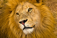 A lion with his beautiful mane, Lion Park, Johannesburg, South Africa