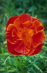 Eschscholzia californica 'Inferno' - Californian poppy