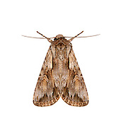 73.112 (2097a)<br /> Pale-shouldered Cloud - Chloantha hyperici