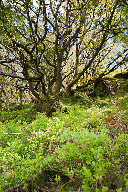 Bilberry in the hanging sessile oak woodland at Gilfach Farm Nature Reserve, Rhayader, Radnorshire, Wales
