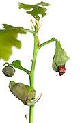 Oak Leaf Roller Beetle (Attelabus nitens) Göhrde, Germany (sequence 7/9) | Das Eichenblattroller-Weibchen (Attelabus nitens) legt ein Ei in die Blattrolle. Am selben Eichen-Trieb sind bereits mehrere Blattrollen fertiggestellt worden.