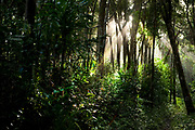 Sunlight through Trees in Rainforest, Masoala National Park, Madagascar, largest of the island's protected areas, UNESCO World Heritage Site, Masoala peninsula is exceptionally diverse due to its huge size, and variety of habitats