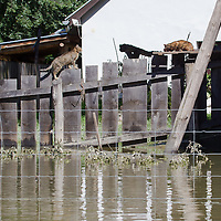 Cats walk on a fence of a flooded house in the forest in Gemenc (about 218 km South of the capital city Budapest), Hungary on June 14, 2013. ATTILA VOLGYI