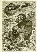 Gorillas in their natural habitat From the book ' Royal Natural History ' Volume 1 Edited by  Richard Lydekker, Published in London by Frederick Warne & Co in 1893-1894